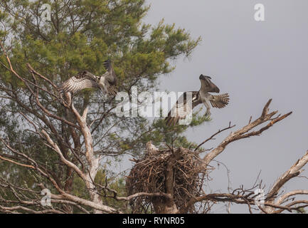 Osprey pair, Pandion haliaetus, in flight over the nest site in spring. - Stock Photo
