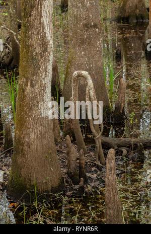 Bald Cypress, Taxodium distichum, knees in woodland in Lower Suwannee National Wildlife Refuge, West Florida. - Stock Photo