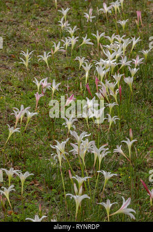 Atamasco-lily, Zephyranthes atamasca in flower in damp grassland; spring, north Florida. - Stock Photo