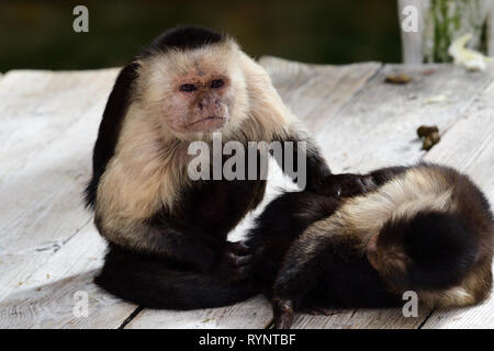 Portrait of two Panamanian white faced capuchin (cebus imitator) monkeys in a zoo - Stock Photo