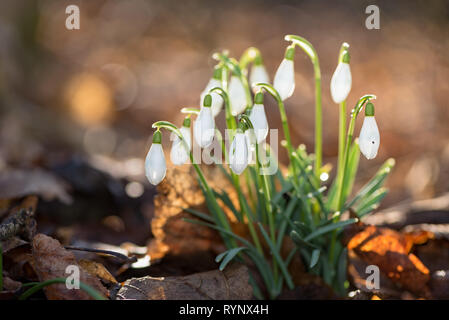 beautiful spring flowers in the forest. Snowdrops in front of blurred  backlight - Stock Photo