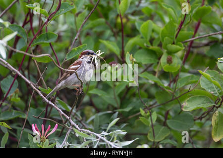 Adult Male House sparrow Passer domesticus with nesting material in its bill perching in a hedge - Stock Photo
