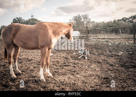 brown horse looking at a dog in the field - Stock Photo