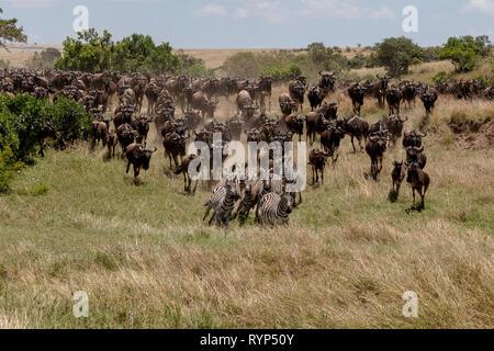 Zebra and Wldebeest annual crossing, Masai, Kenya Africa - Stock Photo