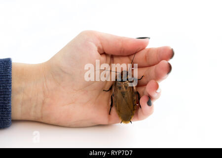 Cockroach Blaberus craniifer one of the types of South American cockroaches sits on the hand of a young girl. Blaberidae of the Blaberus genus, also k - Stock Photo