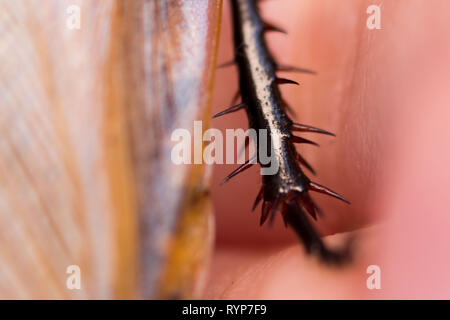 Cockroach Blaberus craniifer one of the types of South American cockroaches sits on the hand. Blaberidae of the Blaberus genus, also known as the dead - Stock Photo