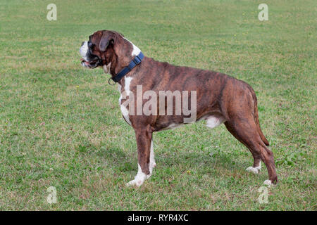 Brindle boxer puppy with white socks is standing on a green meadow. Pet animals. Purebred dog. - Stock Photo