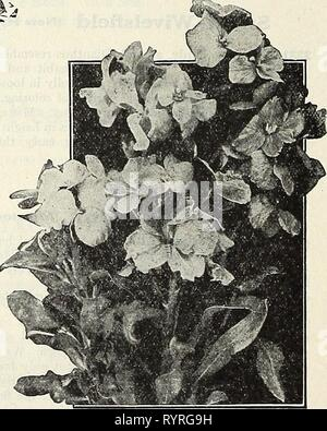 Dreer's midsummer list 1931 (1931) Dreer's midsummer list 1931 . dreersmidsummerl1931henr Year: 1931  15 10 Violas or Tufted Pansies Violas or Tufted Pansies. We offer these as well as the regular Pansies on page 15. Wallflower Well-known deliciously fragrant half hardy perennials, blooming early in the spring, with spikes of beautiful flowers. In the north they should be protected in a cold frame in the winter and planted out in April. per pkt. 4415 Paris Kxtra Early Mixed. A beautiful single variety, which may be treated as an annual, flowering through the summer from seed sown in spring, j  - Stock Photo