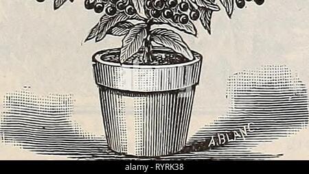 Dreer's quarterly wholesale price list Dreer's quarterly wholesale price list : seeds plants bulbs tools fertilizers sundries &c . dreersquarterlyw1897henr Year: 1897  I- ' #    Ardisia Crispa, - Stock Photo