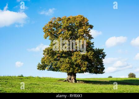 Old large-leaved linden tree (Tilia platyphyllos) in autumn, solitary tree, 400 years old, Thuringia, Germany - Stock Photo