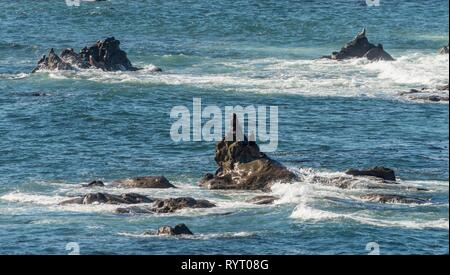 California sea lions (Zalophus californianus) on a rock in the sea, Simpson Reef Overlook, Cape Arago State Park, Oregon, USA - Stock Photo