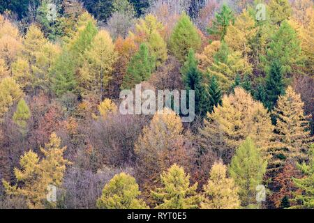Mixed forest with Larches (Larix), spruces (Picea abies) and Common beeches (Fagus sylvatica) in autumn, Sauerland-Rothaar - Stock Photo