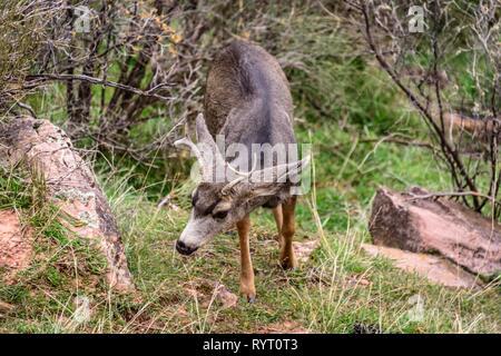 Mule deer (Odocoileus hemionus), Young buck walking through bushes, Bright Angel Trail, South Rim, Grand Canyon National Park - Stock Photo