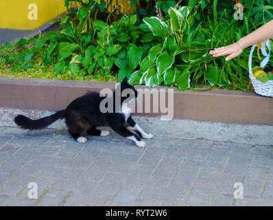 frightened cat. a woman pulls her hand towards the pet - Stock Photo