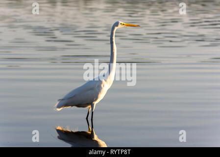 Great egret (Ardea alba) off Tigertail Beach, Marco Island, Florida, USA - Stock Photo