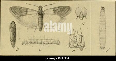 Elementary entomology (1912) Elementary entomology . elementaryento00sand Year: 1912  THE BUTTERFLIES AND MOTHS 189 color, with golden bands and fringes, and expands four fifths of an inch. The meal snout-moth {Pyralis farinalis) also sometimes feeds on clover hay, though it is more commonly a pest of meal and flour, in which it spins silken tubes wherever it feeds. A thorough    Fig. 295. The Indian-meal moth (F/odia interpunctella). (Enlarged) (7, moth; /', pupa; r,/, caterpillar; d, head; e, first abdominal segment of same. (After Chittenden, United States Department of Agriculture) cleanin - Stock Photo