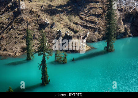 Himalayan firs stand in the water. Flooded forest and majestic ancient trees - Stock Photo