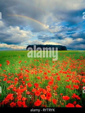 GB - GLOUCESTERSHIRE: Field of poppies in the Cotswolds - Stock Photo