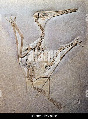 prehistory, fossilization, fossil, zoology, Pterodactylus Rochi (Pterosaur), Upper Jurassic, Eichstaett, Additional-Rights-Clearance-Info-Not-Available - Stock Photo