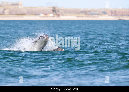 wild bottlenose dolphins feasting on wild fresh large salmon migrating to Scotland from the Atlantic ocean. - Stock Photo