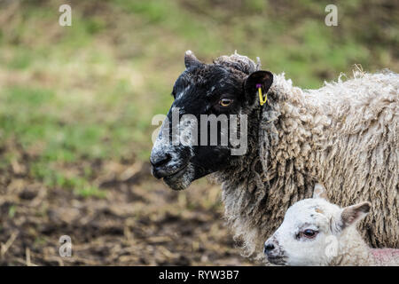 Close up of the heads of a  black face sheep and lamb looking forward - Stock Photo