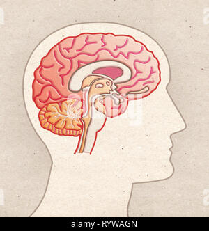 Human Anatomy drawing - Profile Head with BRAIN Sagittal section - Stock Photo