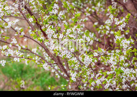 Blooming apricot branch in spring garden. Blossoming tree branches with white flowers in spring garden. - Stock Photo