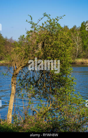 Single tree on the bank of the Ruhr, Ruhr in the background, essen, Germany - Stock Photo