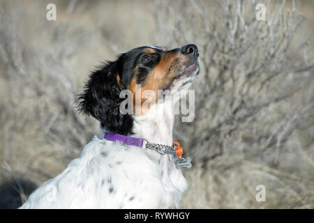 English setter puppy 4.5-months-old looking up at owner - Stock Photo