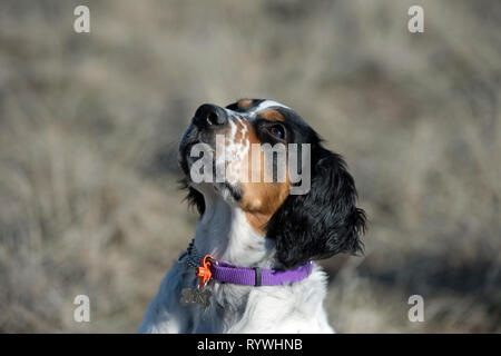 Four-and-a half month old English setter puppy looking up at trainer - Stock Photo