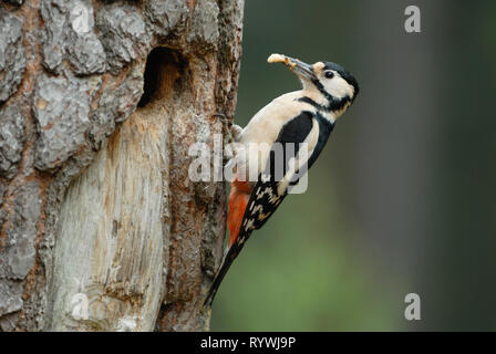 Great-spotted Woodpecker (Dendrocopos major) feeding a beetle grub to young in the nest - Stock Photo