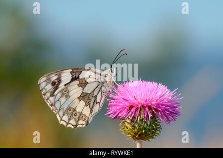 Butterfly, Marbled White (Melanargia galathea) - Stock Photo