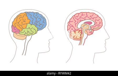 Human Anatomy drawings - BRAIN Lobes and Sagittal section - Stock Photo