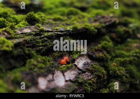 Tiny red mushrooms growing on bark close-up macro photography between green moss vegetation in Ukraine - Stock Photo