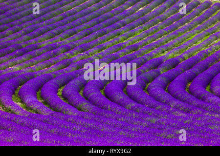 Lavender field. Summer in Provence - Stock Photo