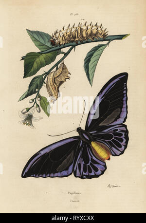 Northern birdwing, Ornithoptera priamus urvillianus 1, and chrysalid and larva of the common birdwing, Troides helena. Ornythoptere de Durville, chrysalid and larva of the Ornithoptere helicaon. Papillons, butterflies. Handcoloured steel engraving by August Dumenil from Felix-Edouard Guerin-Meneville's Dictionnaire Pittoresque d'Histoire Naturelle (Picturesque Dictionary of Natural History), Paris, 1834-39. - Stock Photo