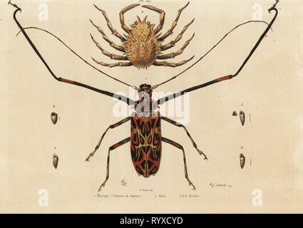 Harlequin beetle, Acrocinus longimanus 1, and European spider crab, Maja squinado 2.  Macrope (harlequin de Cayenne), maia, maillots. Handcoloured steel engraving by August Dumenil after an illustration by Adolph Fries from Felix-Edouard Guerin-Meneville's Dictionnaire Pittoresque d'Histoire Naturelle (Picturesque Dictionary of Natural History), Paris, 1834-39. - Stock Photo