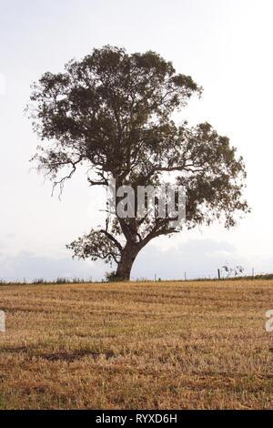 Lone eucalyptus tree in a wheat field - Stock Photo