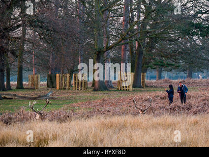 People taking photos of red deer stags lying in bracken with antlers, Bushy Park, Hampton Wick, London, England, UK at  dusk - Stock Photo