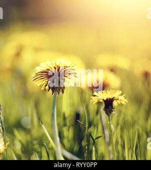 Wild summer yellow flowers of weed dandelions. - Stock Photo