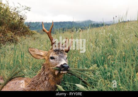 Killed roe deer buck on meadow, Polish Carpathian Mountains, Poland, Europe. Trophy hunting season. Desirable antlers. Deer hunter. - Stock Photo