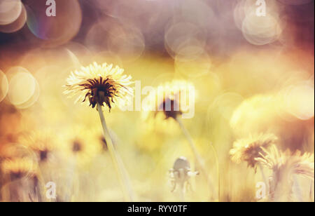 Abstract summer background with yellow flowers - dandelions. - Stock Photo