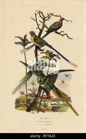 Alexandrine parakeet, Psittacula eupatria, and long-tailed parakeet, Psittacula longicauda Perruche d'Alexandre et perruche a longs brins. Handcoloured steel engraving by du Casse after an illustration by Adolph Fries from Felix-Edouard Guerin-Meneville's Dictionnaire Pittoresque d'Histoire Naturelle (Picturesque Dictionary of Natural History), Paris, 1834-39. - Stock Photo