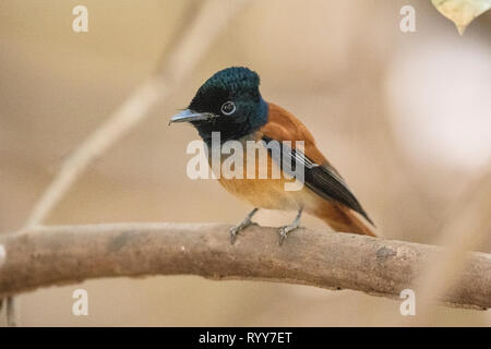 Red-bellied Paradise Flycatcher, adult male perched on branch, Makasutu Forest, Gambia 1 March 2019 - Stock Photo