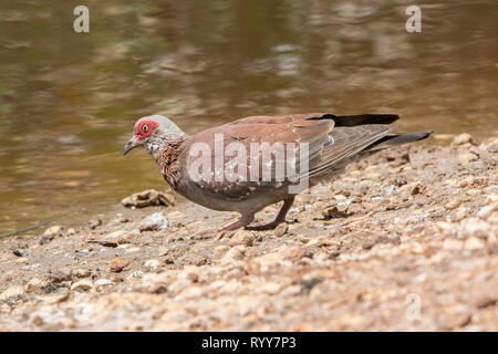 Speckled Pigeon, River Gambia, Gambia 2 March 2019 - Stock Photo