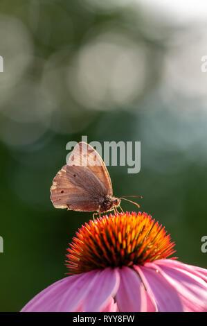 Beautiful Maniola jurtina butterfly on Echinacea purpurea in sunlight in herb garden - Stock Photo