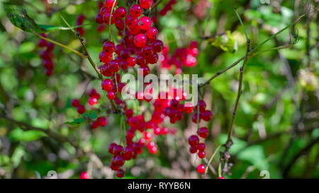 Another shrub tree with the red currant fruit. The redcurrant or red currant is a member of the genus Ribes in the gooseberry family. - Stock Photo