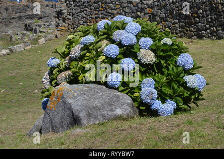 Huge Blue Flowers Of The Hydrangea Plant In Bayonne. Nature, Architecture, History, Travel. August 16, 2014. Bayona, Pontevedra, Galicia, Spain. - Stock Photo