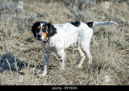 Four-and-a half month old English setter puppy - Stock Photo