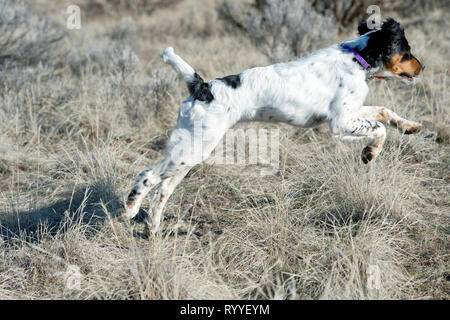 Four-and-a half month old English setter puppy running - Stock Photo